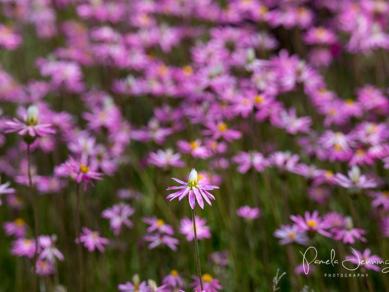 Wildflowers_3_WA