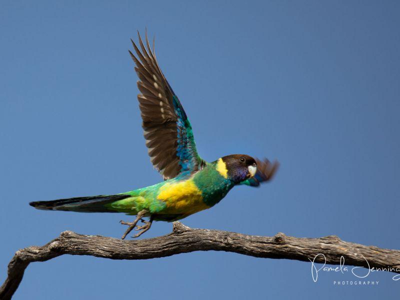 Aust Ringneck Parrot_WA