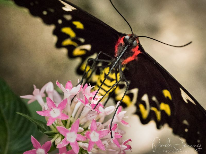 Cairns Birdwing butterfly 2