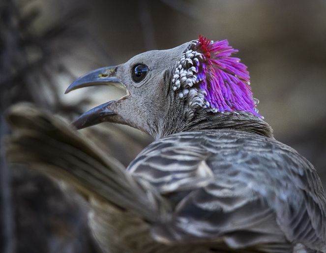 Male Bower Bird
