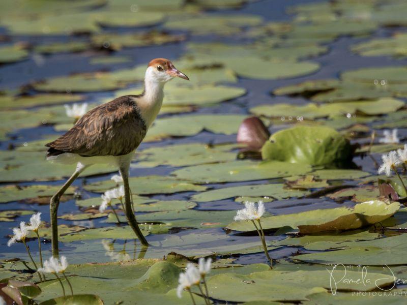 Jacana chick on wetland