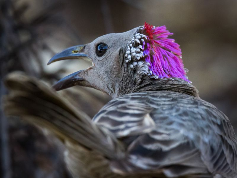 Bower Bird plumage