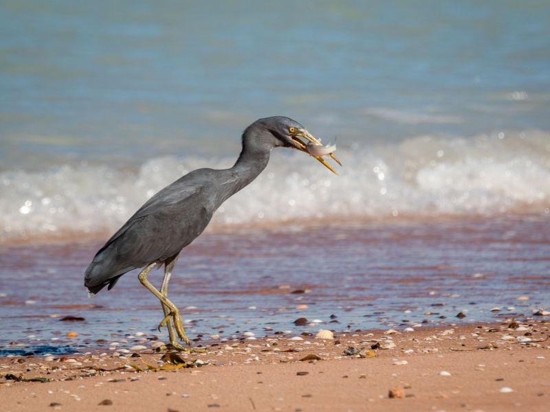 20170724_birds broome_5377.jpg
