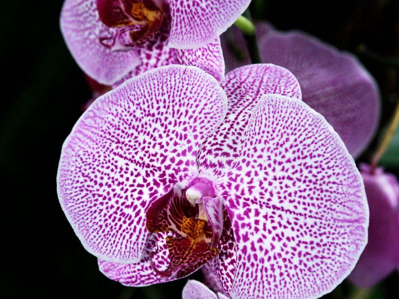Orchid, Borneo